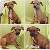 Adopt A Pet :: BOXER X PUPPIES - Pompton Lakes, NJ