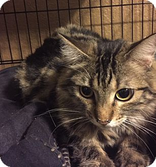 Domestic Mediumhair Cat for adoption in Glendale, Arizona - JELLI BEAN