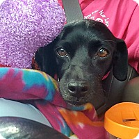 Adopt A Pet :: Pepper - Andalusia, PA