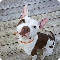 Adopt A Pet :: Sparky - Indiana - Fulton, MO