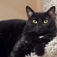 Domestic Shorthair Cat for adoption in Palm Springs, California - Maganda