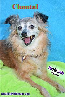 Pomeranian/Italian Greyhound Mix Dog for adoption in Wellington, Florida - Chantal