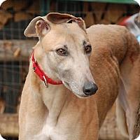 Adopt A Pet :: Caramel - Ware, MA