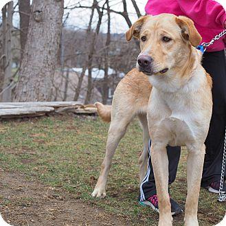 Labrador Retriever/Siberian Husky Mix Dog for adoption in Whitehall, Pennsylvania - Kenny