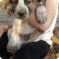 Adopt A Pet :: Gunner--arriving soon - Chichester, NH