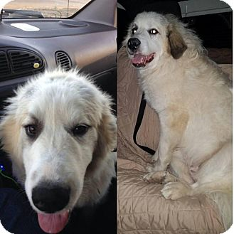 Great Pyrenees Dog for adoption in Quincy, Indiana - Remmington
