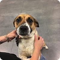 Shepherd (Unknown Type) Mix Dog for adoption in Laingsburg, Michigan - Fern