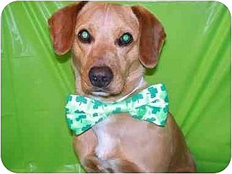 Beagle/Golden Retriever Mix Dog for adoption in McArthur, Ohio - Jonnie