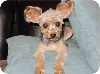 Yorkie, Yorkshire Terrier Dog for adoption in West Palm Beach, Florida - Oliver
