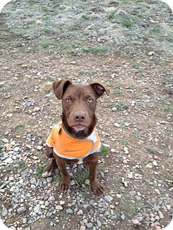 Retriever (Unknown Type)/Boxer Mix Dog for adoption in Westminster, Colorado - Porter