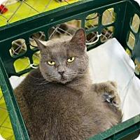 Domestic Shorthair Cat for adoption in East Smithfield, Pennsylvania - Zoe