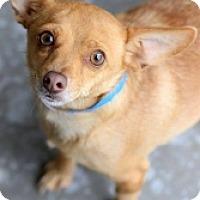 Adopt A Pet :: Paco - Mesa, AZ