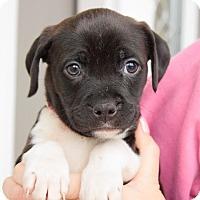 Adopt A Pet :: Ilsa - Reisterstown, MD