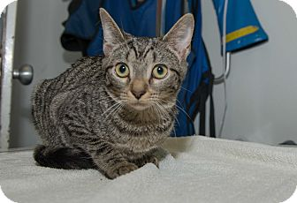 Domestic Shorthair Cat for adoption in New York, New York - Chelsea