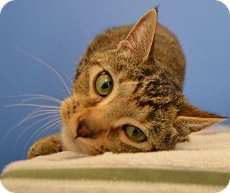 Domestic Shorthair Cat for adoption in Buena Vista, Colorado - Hope