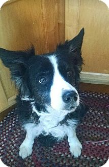 Border Collie Dog for adoption in ROME, New York - Gypsy