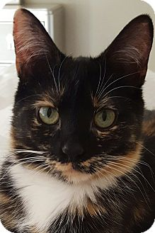 Domestic Shorthair Cat for adoption in Rochester, Michigan - Meadow