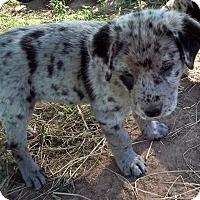Adopt A Pet :: Boomer - Waller, TX