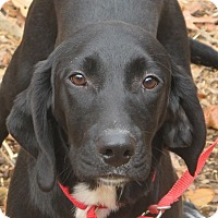 Labrador Retriever/Beagle Mix Puppy for adoption in Plainfield, Connecticut - Apollo