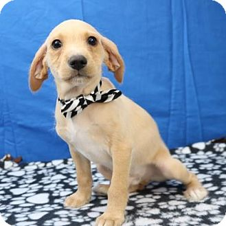 Terrier (Unknown Type, Small) Mix Puppy for adoption in Yucaipa, California - Barney