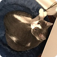 Adopt A Pet :: Macy 17-0052 - Richardson, TX