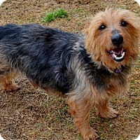 Australian Terrier Mix Dog for adoption in Rockwall, Texas - Jack