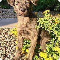 Adopt A Pet :: Tito - Gilbert, AZ