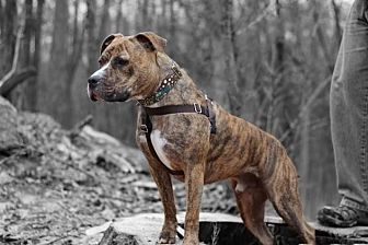Pit Bull Terrier Mix Dog for adoption in Cranston, Rhode Island - Tyson