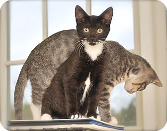 Domestic Shorthair Kitten for adoption in Trevose, Pennsylvania - Jade