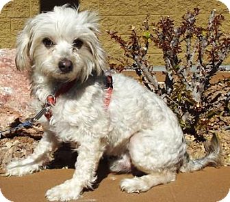 Lhasa Apso/Terrier (Unknown Type, Small) Mix Dog for adoption in Gilbert, Arizona - Kringle