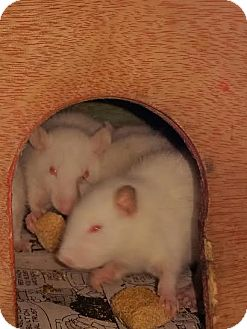 Rat for adoption in Philadelphia, Pennsylvania - 4 BABY FEMALES FROM NYC EMERG!
