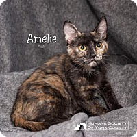 Domestic Mediumhair Cat for adoption in Fort Mill, South Carolina - Amelie 5467