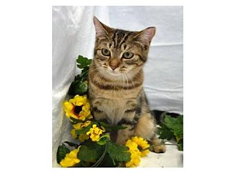 Domestic Shorthair Cat for adoption in Oviedo, Florida - Gucci