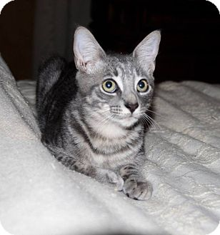 Domestic Shorthair Cat for adoption in Saint Augustine, Florida - Leon
