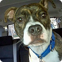 Adopt A Pet :: Duke - Blairstown, NJ