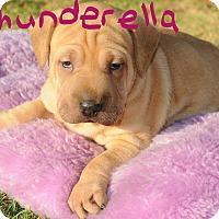 Adopt A Pet :: Thunderella - Agoura Hills, CA