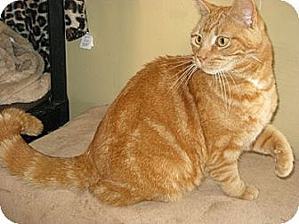Domestic Shorthair Cat for adoption in Bloomsburg, Pennsylvania - Gemma