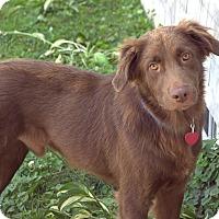 Adopt A Pet :: Nova - New Canaan, CT
