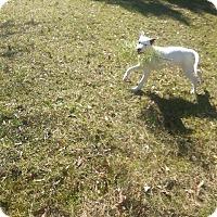 Setter (Unknown Type)/Labrador Retriever Mix Dog for adoption in Jefferson, Texas - Sandy