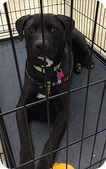 Pit Bull Terrier/Labrador Retriever Mix Dog for adoption in Albemarle, North Carolina - Mali