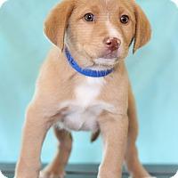 Adopt A Pet :: Buzz - Waldorf, MD