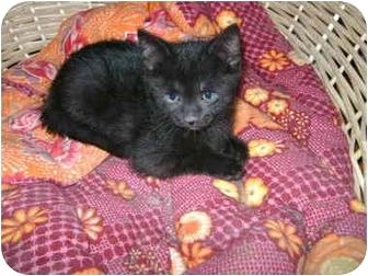 Domestic Shorthair Kitten for adoption in Etobicoke, Ontario - babby boy