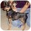 Photo 2 - Miniature Pinscher Puppy for adoption in Florissant, Missouri - Bandit
