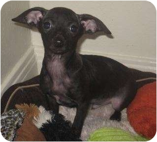 Rat Terrier/Chihuahua Mix Puppy for adoption in Van Nuys, California - Tiny Dino