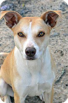 Hound (Unknown Type)/Pointer Mix Dog for adoption in Clinton, Louisiana - Nuzzy