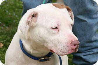 American Pit Bull Terrier Dog for adoption in Fort Smith, Arkansas - BEKAH