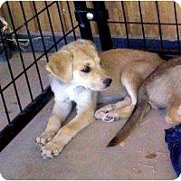 Adopt A Pet :: CLARABELLE - Gilbert, AZ