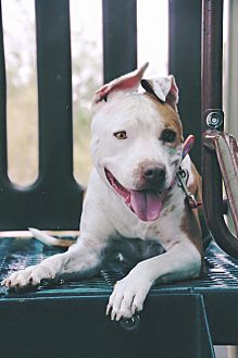 American Pit Bull Terrier Mix Dog for adoption in Las Vegas, Nevada - Hazel
