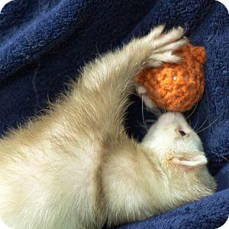 Ferret for adoption in Balch Springs, Texas - Freya