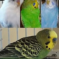 Budgie for adoption in Asheville, North Carolina - Shelter Parakeets